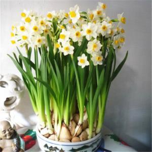 桌面盆栽绿植水仙花种球西洋球根水仙花种子水培花卉植物 11.24元