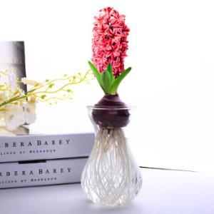 风信子种球水仙花水培花卉荷兰进口套装植物室内办公室桌面盆栽粉色风信子水培玻璃瓶套装12.8元