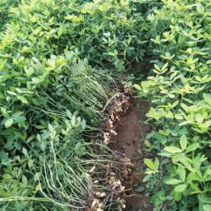 移动端:2020年新鲜湿花生现挖现发农家自种带壳原味粉红皮现挖湿花生 35.8元