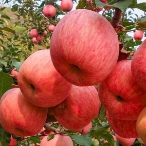 HOMES/红富士烟台苹果5斤 17.5元