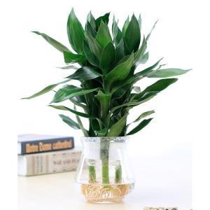 净化空气桌面盆栽绿植办公室花卉水培富贵竹花边玻璃盆花店花卉27.55元