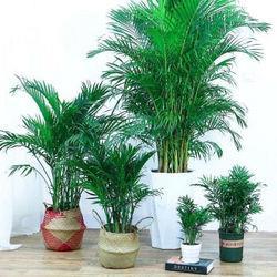SIBAOLU斯宝路散尾葵凤尾竹盆栽含白色螺纹盆(5颗)9.9元(需用券)