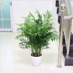 FOLOMODO散尾葵凤尾竹盆栽30-40公分高(8-12颗)含盆18.9元(需用券)