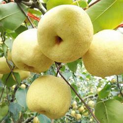 京东PLUS会员:正宗安徽砀山酥梨新鲜水果梨子*5件9.8元(需用券,合1.96元/件)