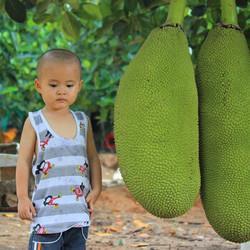 美贸川泰国黄肉菠萝蜜新鲜水果黄金菠萝蜜精选装15-20斤49.9元(需用券)