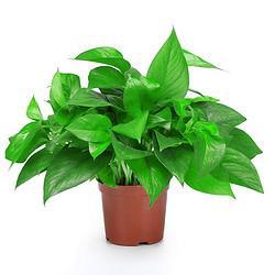 大叶精品绿萝盆栽室内吸甲醛净化空气吊兰水培植物懒人花盆120精品绿萝带盆栽好3.99