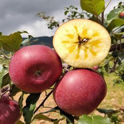 欧悟冰糖心苹果苗盆栽4年苗当年结果 15元
